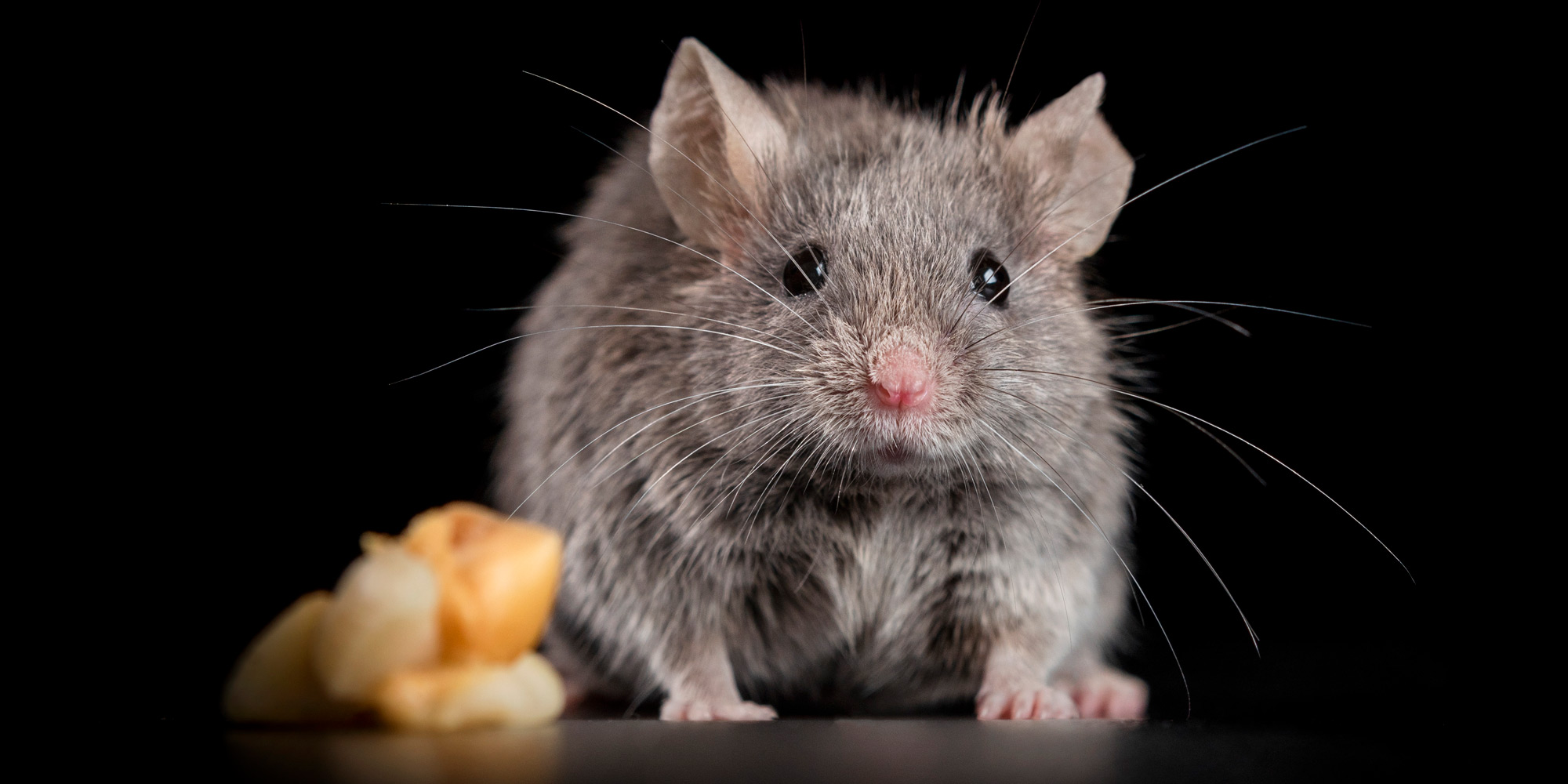 cute flurry grey manx mouse
