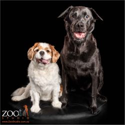 fur-bros cavalier king charles spaniel and black german shepherd cross