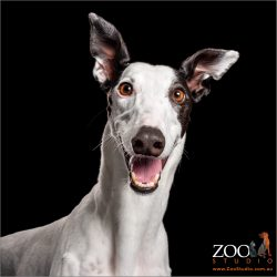 huge happy smile  white female greyhound
