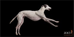 leaping white greyhound