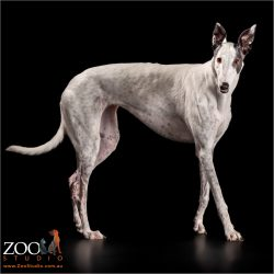elegantly walking white  with black markings greyhound girl