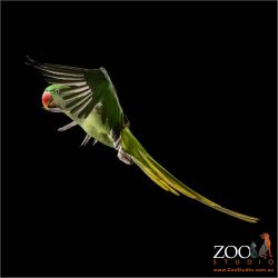mid flight female alexandrine parrot