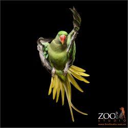 airborne female alexandrine parrot
