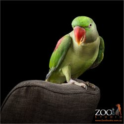 girl alexandrine parrot perched on back of brown chair