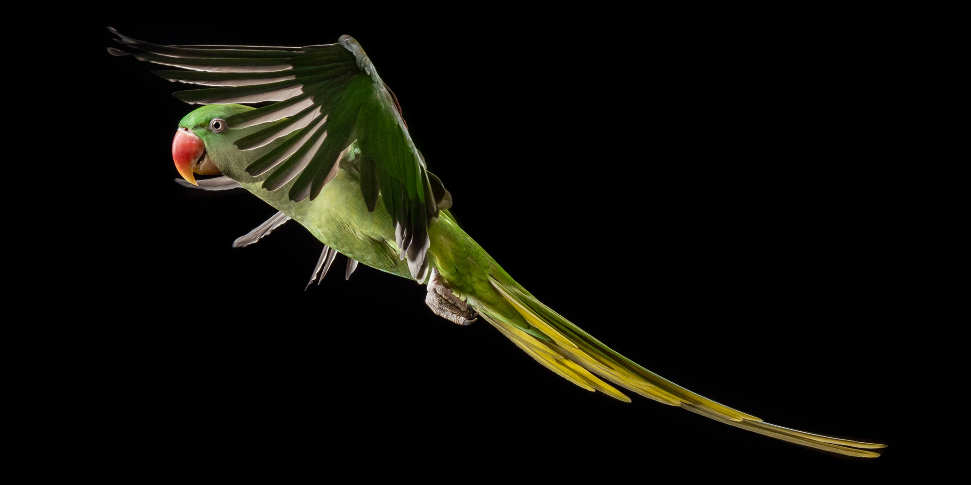 wings flapping in flight alexandrine parrot