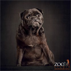 black pug sitting like an old man