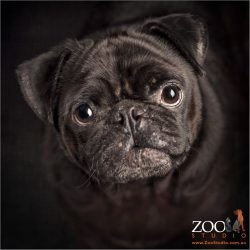 close up of sweet  faced black male pug