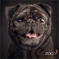 smiling black male pug