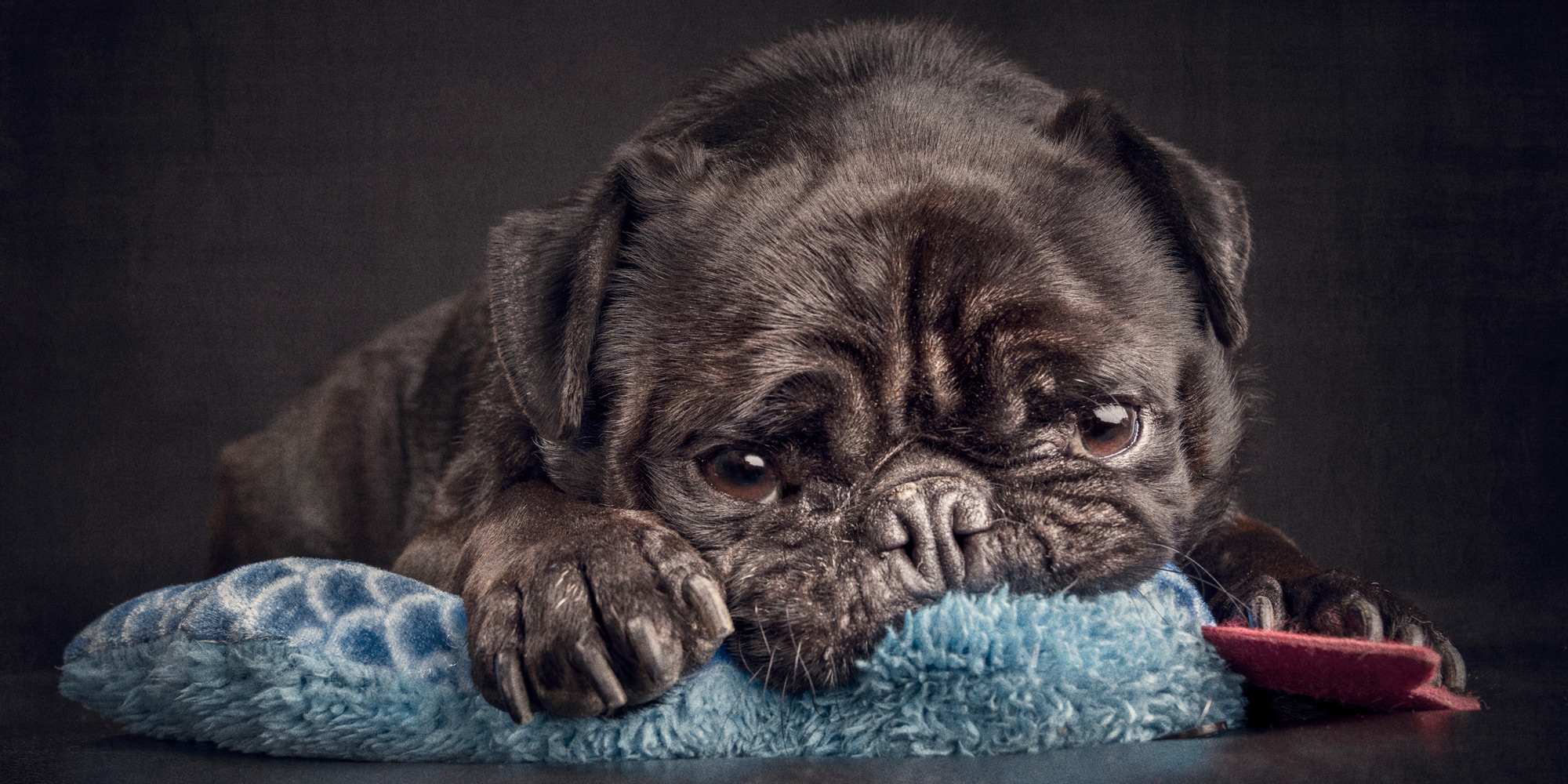 sooky black pug resting head on blue blanket