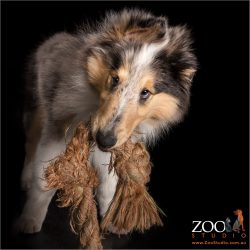 Beautiful Blue Merle Collie with rope toy in mouth.