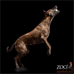 Dark Brindle Greyhound x jumping.