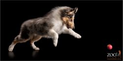 Beautiful Collie puppy about to pounce.