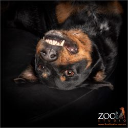 upside down smiling male cattle dog cross