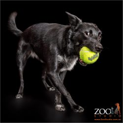 black border collie cross with large yellow ball in mouth