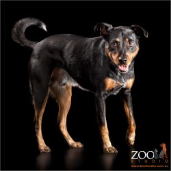 strolling black and tan male cattle dog cross