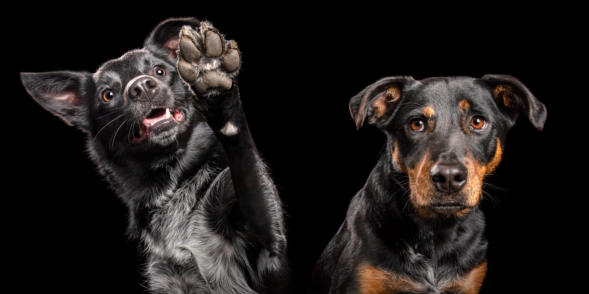 high-five from black female border collie cross and black and tan cattle dog cross
