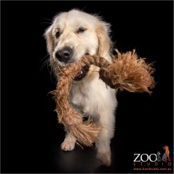 Golden Retriever with rope toy.