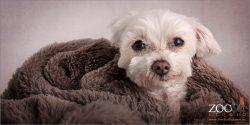 Senior Miniature Maltese Shih Tzu wrapped in blanket.
