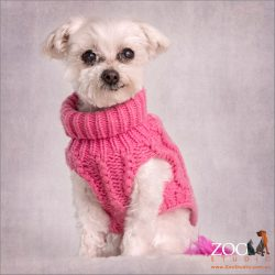 Elderly Miniature Maltese Shih Tzu in pink jumper.