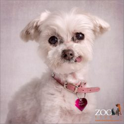 White female Miniature Maltese Shih Tzu showing her tongue and dog tag.