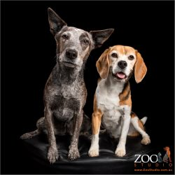 Cattle Dog and Beagle  together.