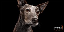 Cattle Dog looking straight.