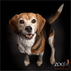 Handsome looking Beagle smiling.