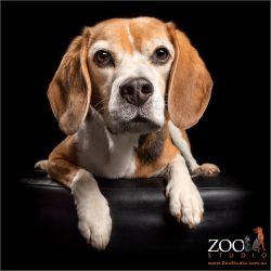 Beagle peeking over.