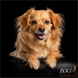 Tibetan Spaniel x Pomeranian resting with a big smile.