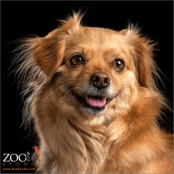 Close up of Tibetan Spaniel x Pomeranian looking adorable.