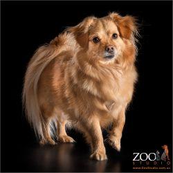 Very cute Ginger Tibetan Spaniel x Pomeranian.