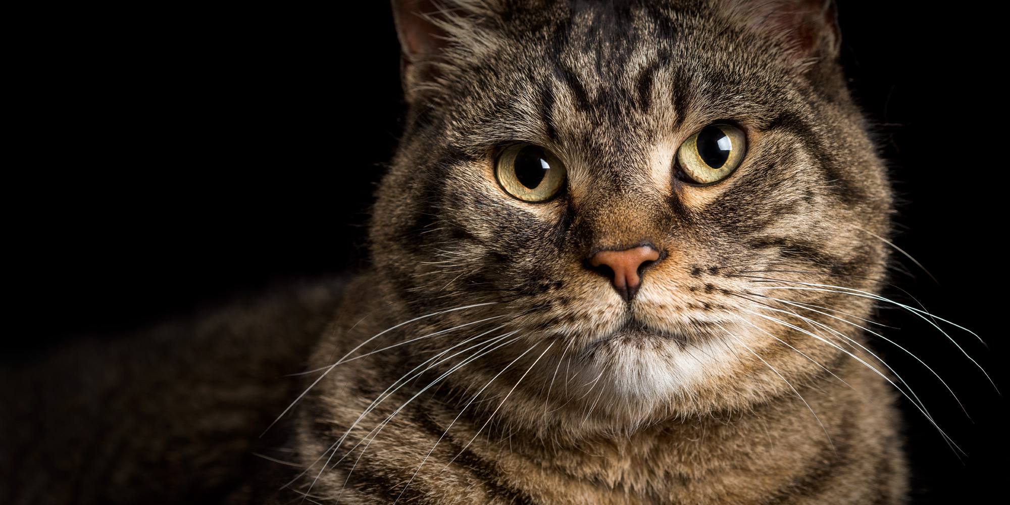 Close up of gorgeous tabby.