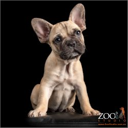 fawn female french bulldog puppy