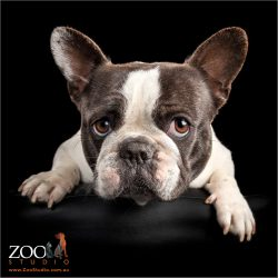 pied female french bulldogs face close up