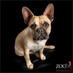 young fawn male french bulldog looking up