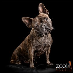 head tilting brindle female french bulldog