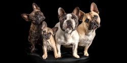 four fur-siblings sitting together french bulldogs