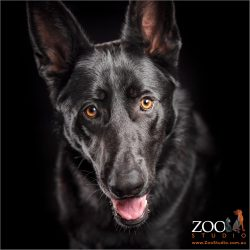 Black German Shepherd staring.