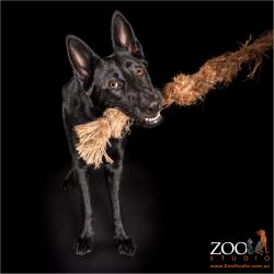 German Shepherd pulling on rope.