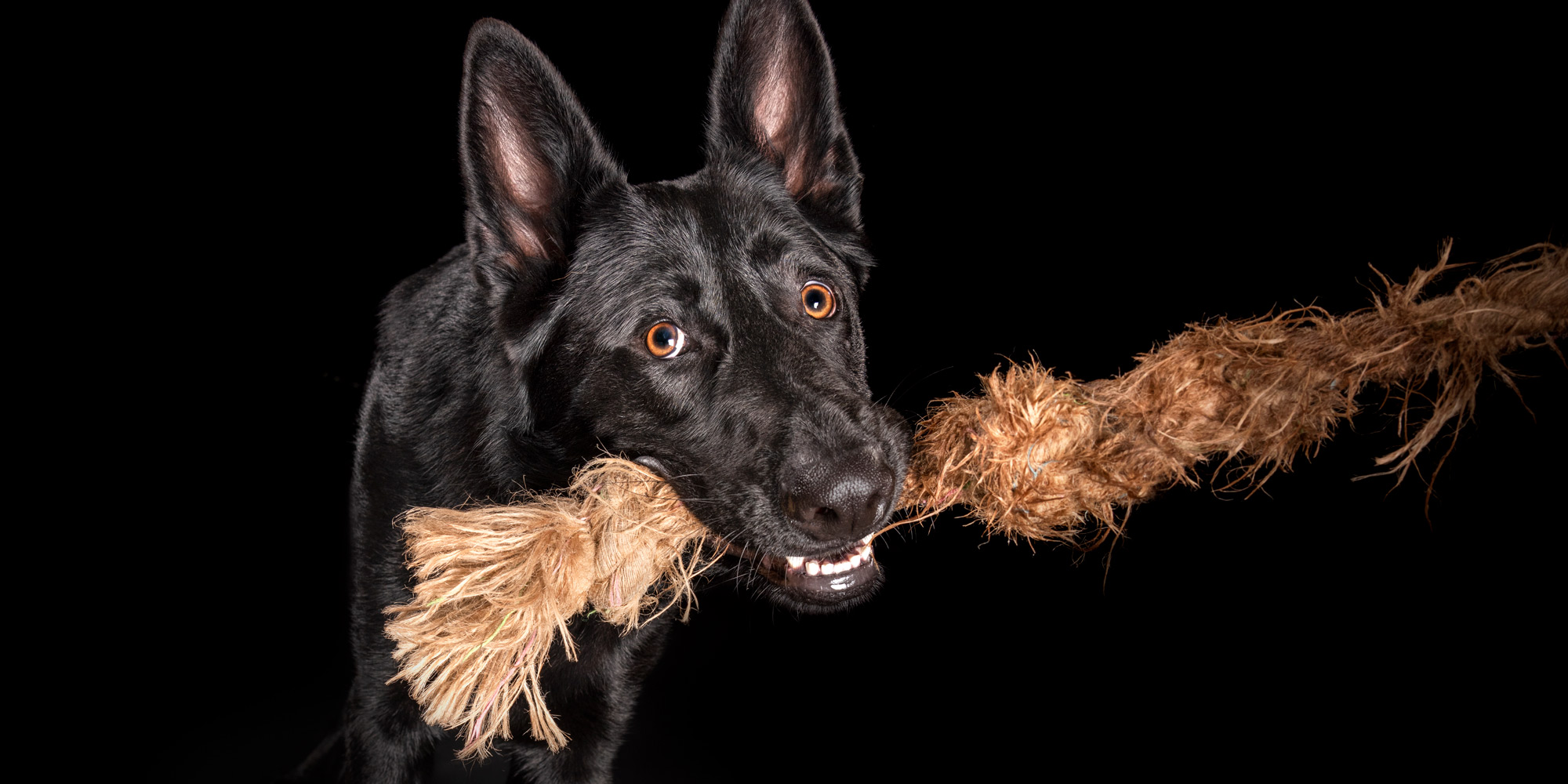 German Shepherd chewing on rope toy.