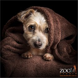 male australian terrier wrapped in brown blanket