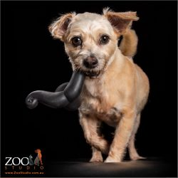 cute little aussie terrier with black toy in mouth