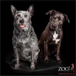 fur siblings sitting together blue australian cattle dog and staffordshire bull terrier cross