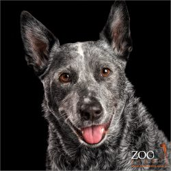 big smile from female australian blue cattle dog
