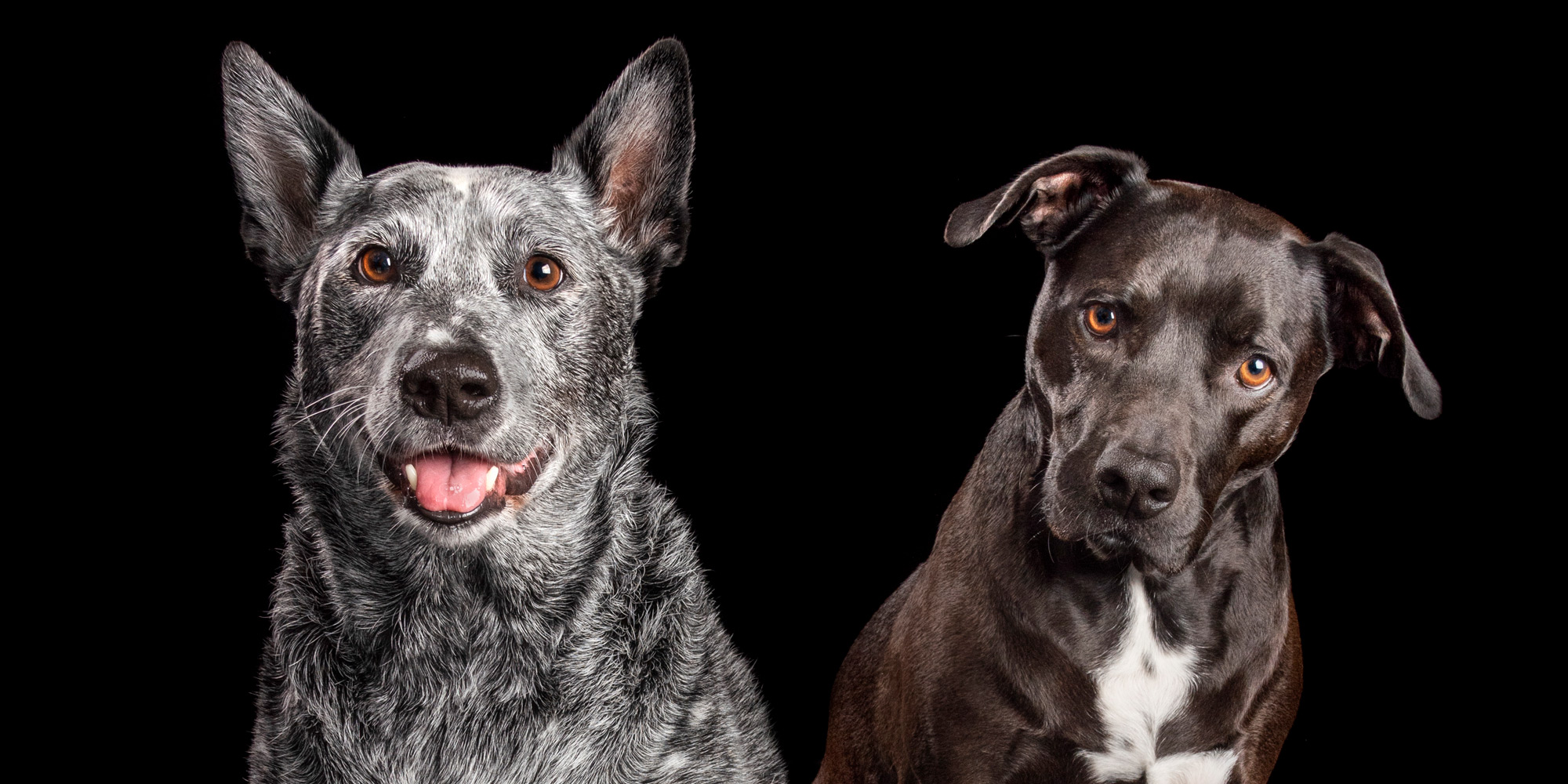 smiling girl blue cattle dog with fur-brother staffy cross