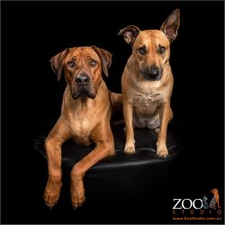 Rhodesian Ridgeback and Kelpie x Staffy together.