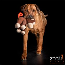 Rhodesian Ridgeback playing with a monkey toy.