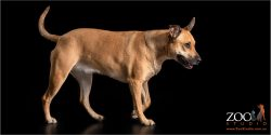 Gorgeous light brown Kelpie x Staffy walking.