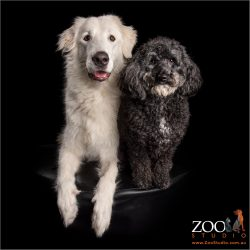 White Maremma sheepdog and Poodle standard sitting together.