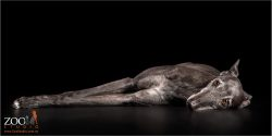 elegant greyhound lying down
